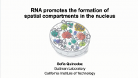Short Talk: RNA Promotes the Formation of Spatial Compartments in the Nucleus icon