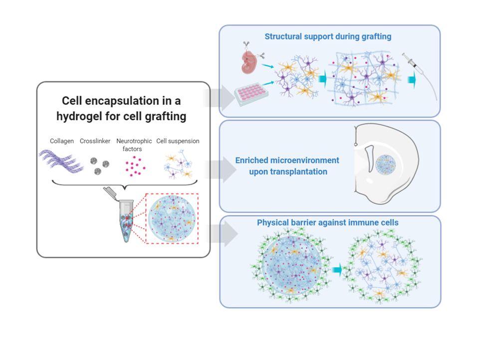 <b>Fig. 1 Schematic illustrating some of the benefits of neurotrophin-enriched injectable collagen hydrogels for cell-based brain repair. </b>