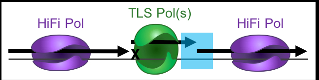 """<b>Figure 1. </b>Translesion synthesis along a DNA template with """"x"""" lesion. The shaded blue area marks the switch-back from TLS to a HiFi Pol."""